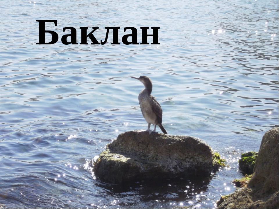 Баклан