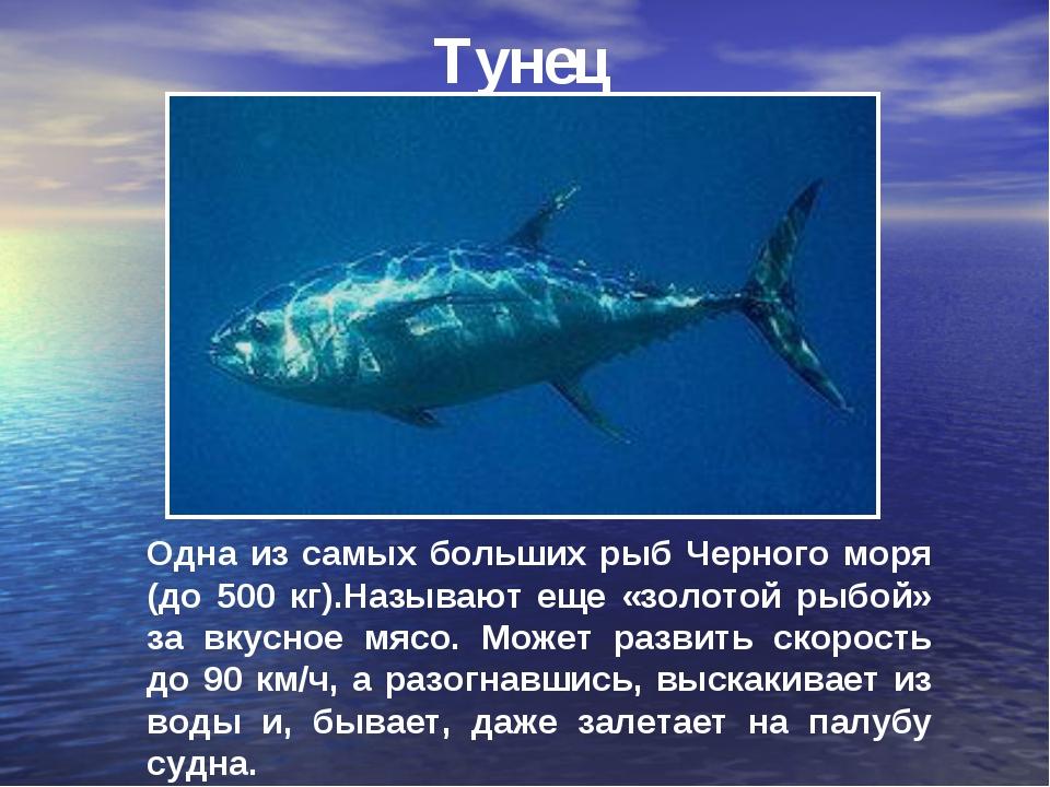 Тунец Одна из самых больших рыб Черного моря (до 500 кг).Называют еще «золото...