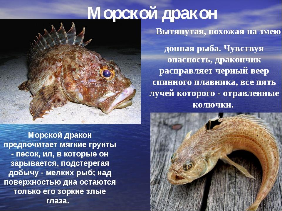 Морской дракон Вытянутая, похожая на змею донная рыба. Чувствуя опасность, др...