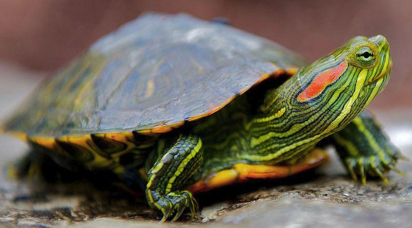 Красноухая черепаха американская