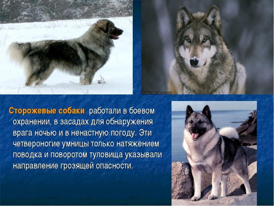 Сторожевые собаки работали в боевом охранении, в засадах для обнаружения вр...