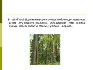 В тайге Горной Шории можно встретить совсем необычное для наших лесов дерево