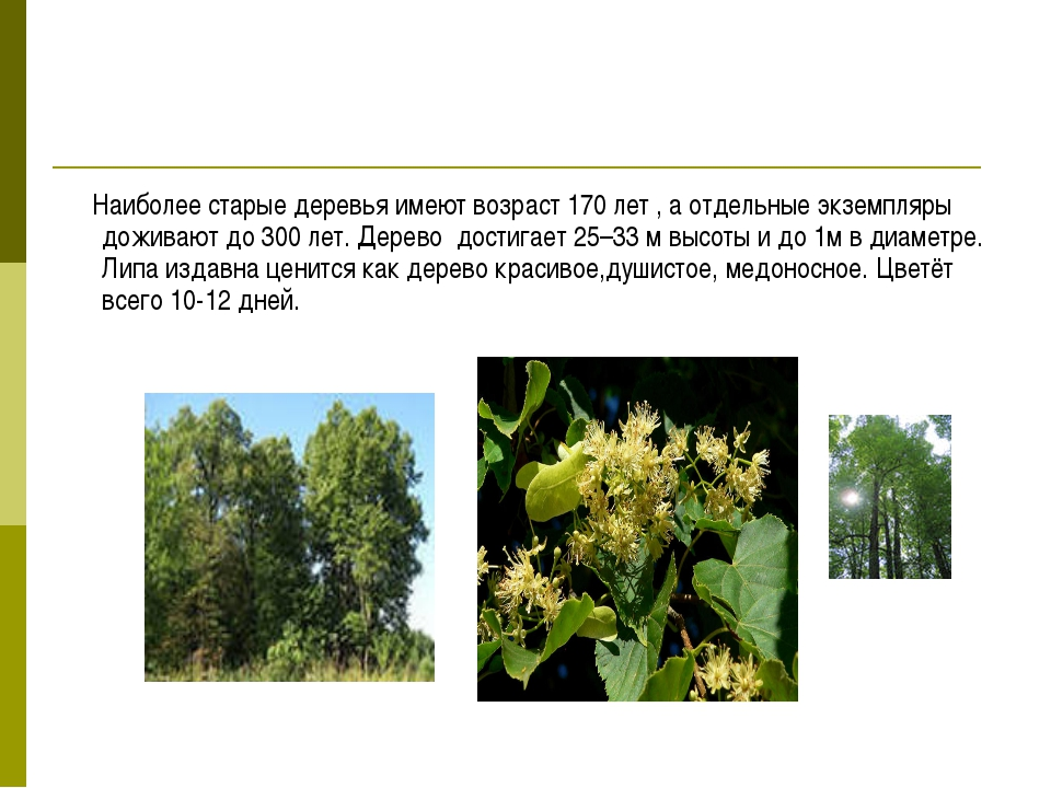 Наиболее старые деревья имеют возраст 170 лет , а отдельные экземпляры дожив...