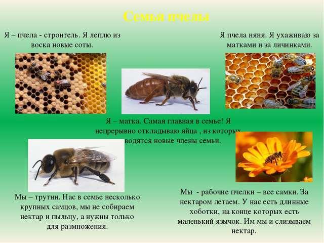 Я – пчела - строитель. Я леплю из воска новые соты. Я – пчела - строитель. Я...