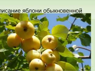Описание яблони обыкновенной Жизненная форма (трава, кустарник, дерево) Харак