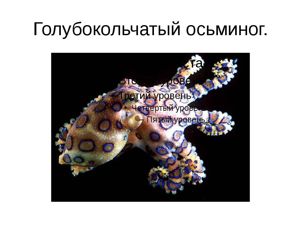 Голубокольчатый осьминог.