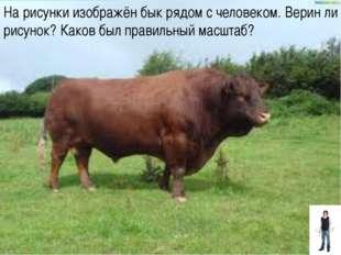 На рисунки изображён бык рядом с человеком. Верин ли рисунок? Каков был прави