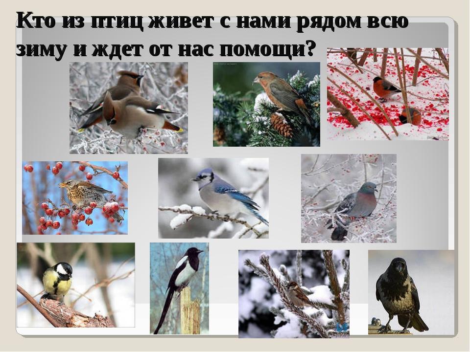 Кто из птиц живет с нами рядом всю зиму и ждет от нас помощи?