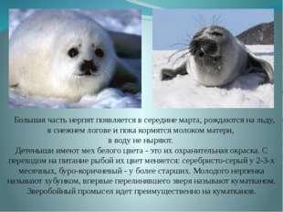 Большая часть нерпят появляется в середине марта, рождаются на льду, в снежн