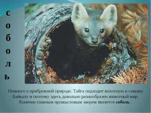 Немного о прибрежной природе. Тайга подходит вплотную к самому Байкалу и поэт