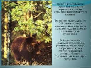 Появление медведя на берегу Байкала носит характер массового, регулярно повто