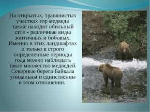 На открытых, травянистых участках гор медведи также находят обильный стол -