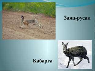 Заяц-русак Кабарга