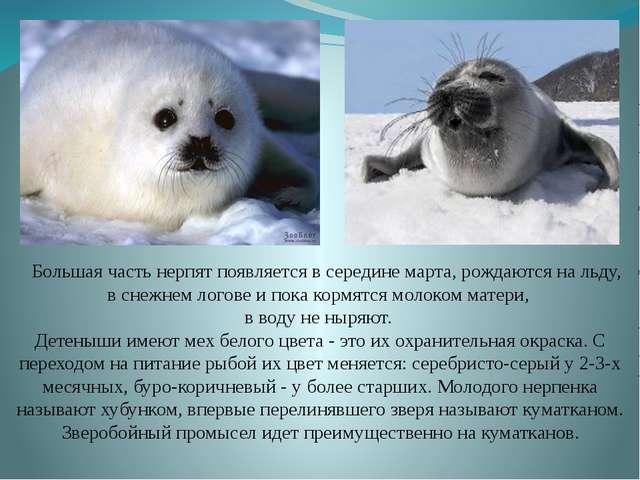 Большая часть нерпят появляется в середине марта, рождаются на льду, в снежн...