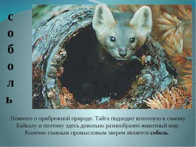 Немного о прибрежной природе. Тайга подходит вплотную к самому Байкалу и поэт...