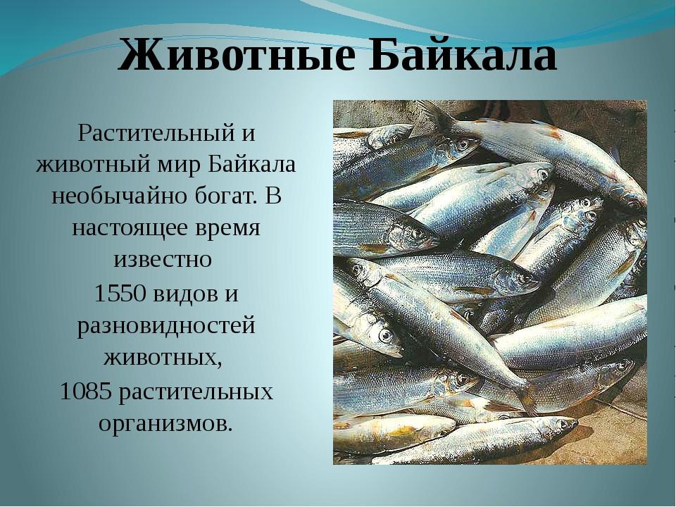 Животные Байкала Растительный и животный мир Байкала необычайно богат. В наст...