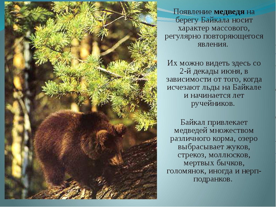 Появление медведя на берегу Байкала носит характер массового, регулярно повто...