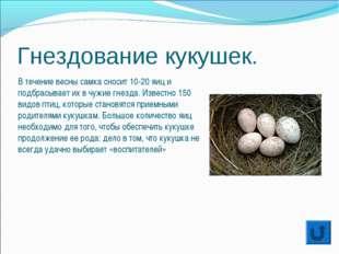 Гнездование кукушек. В течение весны самка сносит 10-20 яиц и подбрасывает их