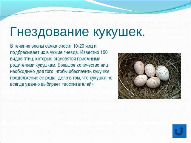 Гнездование кукушек. В течение весны самка сносит 10-20 яиц и подбрасывает их...