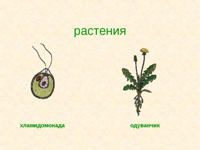 растения хламидомонада одуванчик