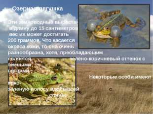 Озерная лягушка Эти земноводные вырастают в длину до 15 сантиметров, а вес и