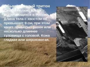 Обыкновенный тритон Самый мелкий среди встречающихся в России. Длина тела с