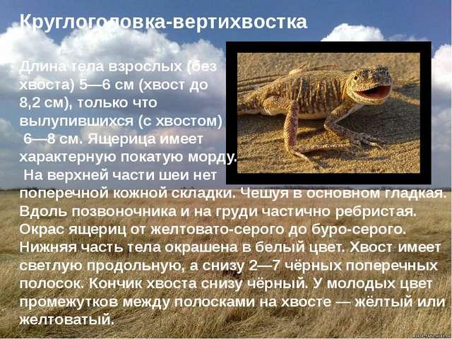 Круглоголовка-вертихвостка Длина тела взрослых (без хвоста) 5—6 см (хвост до...