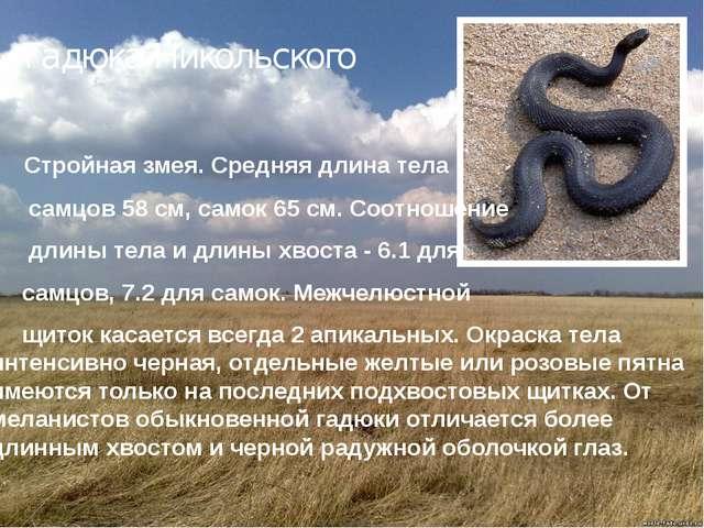 Гадюка Никольского  Стройная змея. Средняя длина тела самцов 58 см, самок 6...