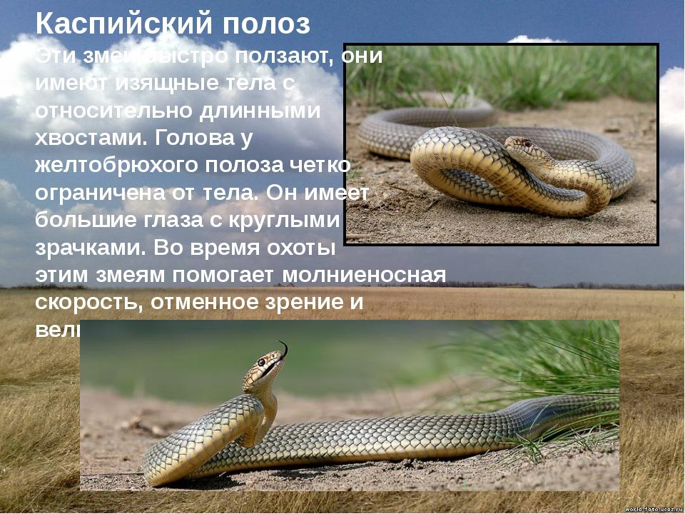 Каспийский полоз Эти змеи быстро ползают, они имеют изящные тела с относител...
