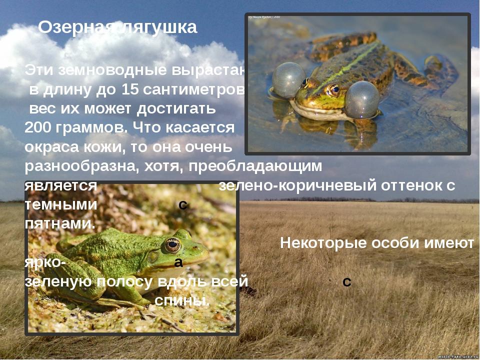 Озерная лягушка Эти земноводные вырастают в длину до 15 сантиметров, а вес и...