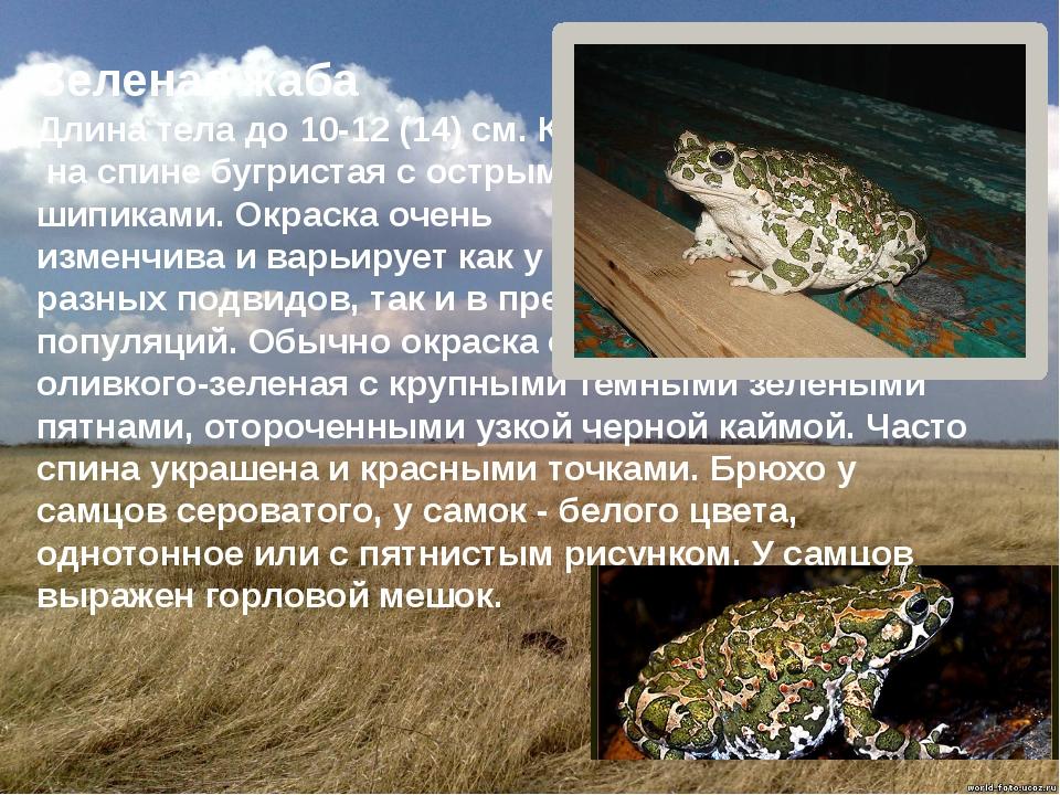 Зеленая жаба Длина тела до 10-12 (14) см. Кожа на спине бугристая с острыми...