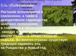 Ель обыкновенная Растение используется в озеленении, а также в декоративном