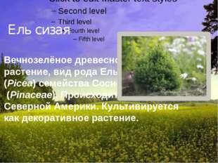 Ель сизая Вечнозелёное древесное растение,видродаЕль (Picea) семействаС