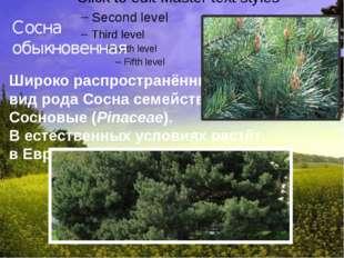 Сосна обыкновенная Широко распространённый видрода Соснасемейства Сосновы