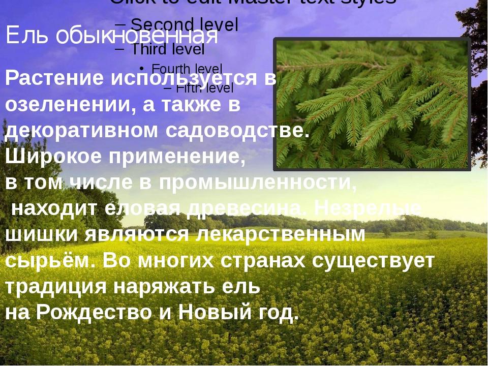 Ель обыкновенная Растение используется в озеленении, а также в декоративном...
