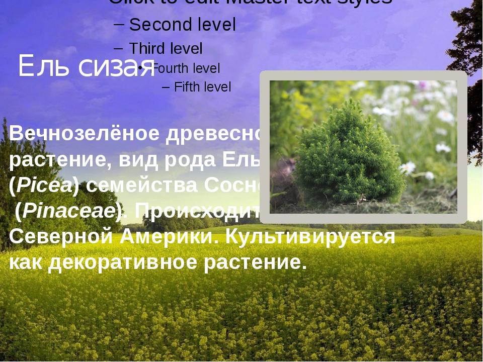 Ель сизая Вечнозелёное древесное растение,видродаЕль (Picea) семействаС...