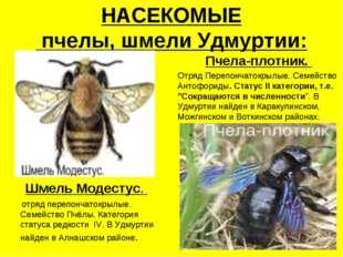 НАСЕКОМЫЕ пчелы, шмели Удмуртии: Шмель Модестус. отряд перепончатокрылые. Сем