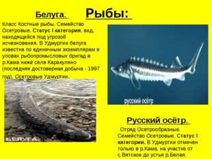 Рыбы: Белуга. Класс Костные рыбы. Семейство Осетровые. Статус I категория, ви