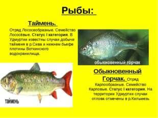 Рыбы: Таймень. Отряд Лососеобразные. Семейство Лососёвые. Статус I категория.
