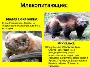 Млекопитающие: Малая Вечерница. Отряд Рукокрылые. Семейство Гладконосые рукок
