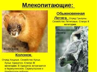 Млекопитающие: Колонок. Отряд Хищные. Семейство Куньи. Куньи Удмуртии. Статус