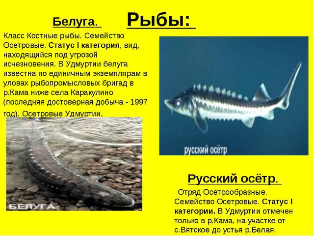 Рыбы: Белуга. Класс Костные рыбы. Семейство Осетровые. Статус I категория, ви...