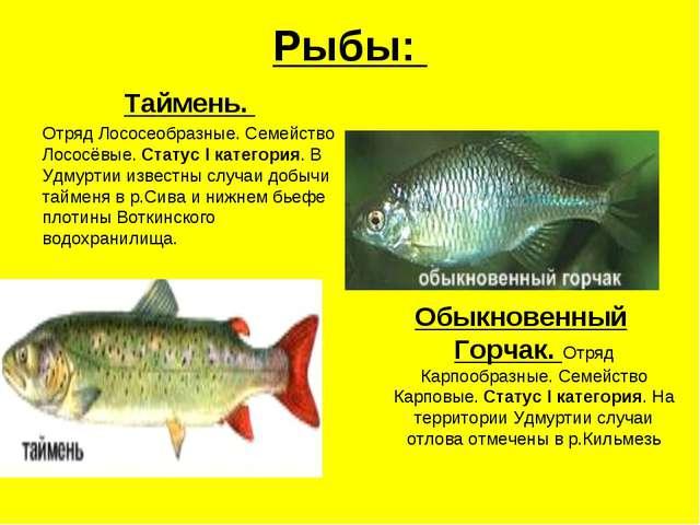 Рыбы: Таймень. Отряд Лососеобразные. Семейство Лососёвые. Статус I категория....