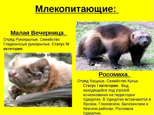 Млекопитающие: Малая Вечерница. Отряд Рукокрылые. Семейство Гладконосые рукок...