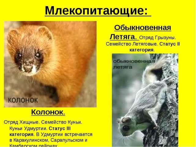Млекопитающие: Колонок. Отряд Хищные. Семейство Куньи. Куньи Удмуртии. Статус...