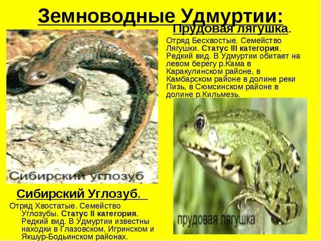 Земноводные Удмуртии: Сибирский Углозуб. Отряд Хвостатые. Семейство Углозубы...