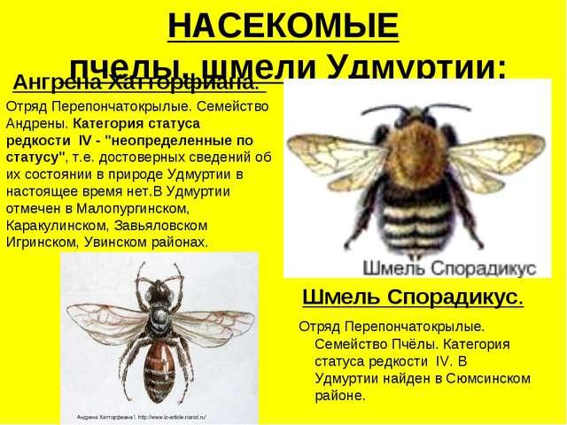 НАСЕКОМЫЕ пчелы, шмели Удмуртии: Ангрена Хатторфиана. Отряд Перепончатокрылые...