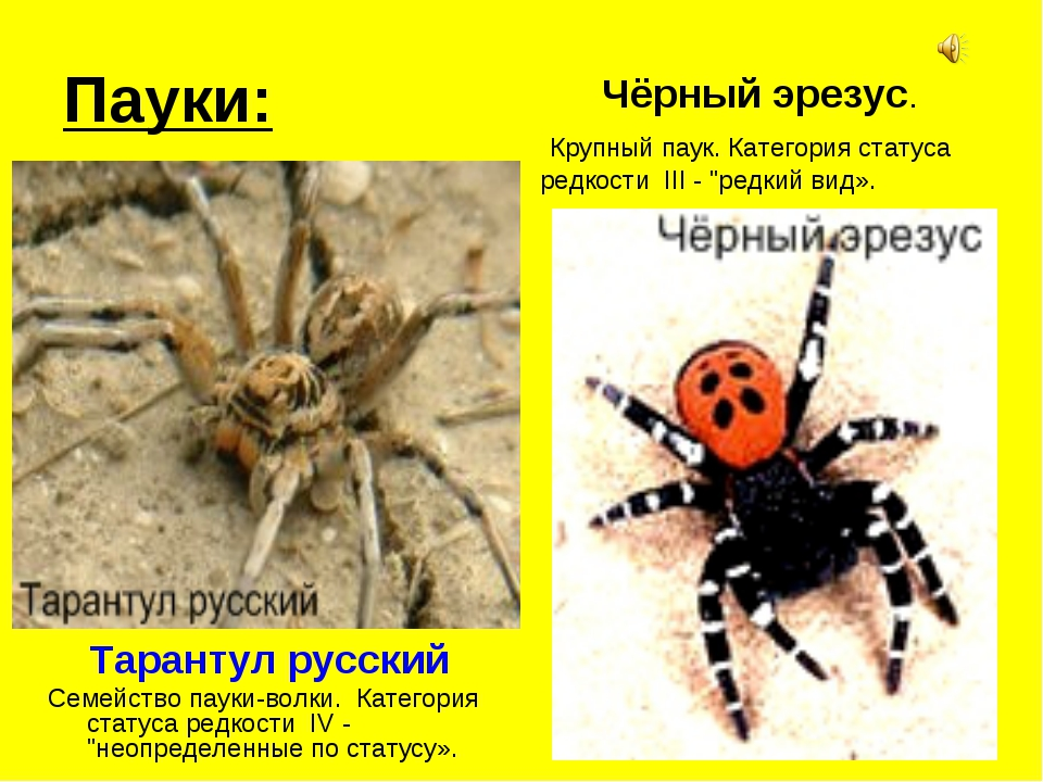 Пауки: Тарантул русский Семейство пауки-волки. Категория статуса редкости IV...