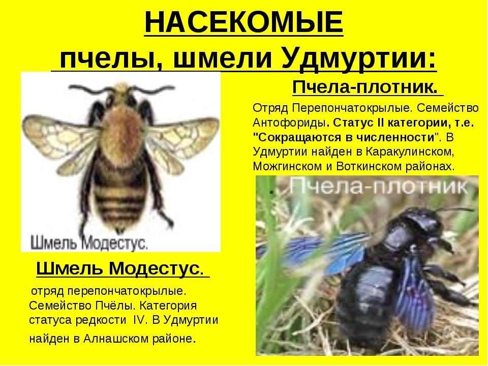 НАСЕКОМЫЕ пчелы, шмели Удмуртии: Шмель Модестус. отряд перепончатокрылые. Сем...