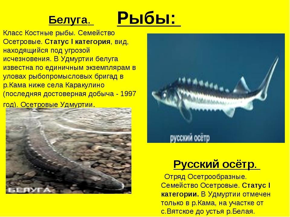 Белая белуга рыба